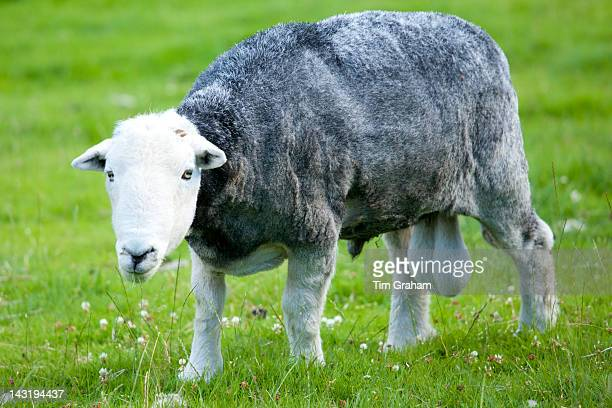 Traditional Herdwick sheep ram at Wastwater in the Lake District National Park Cumbria UK