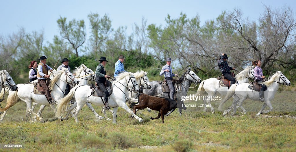 'Gardians', traditional horsemen, push a young bull on May 26, 2016 in Saintes-Maries-de-la-Mer near Arles, France. The 'Guardians' celebrate the day in memory of the Marquis de Baroncelli and show tourist how they work. Marie Segretier help them to wrangel the bulls and brand them. She is the only 'cow girl' in the area of Staintes-Maries-de-la-Mer (Camargue). She started with 5-6 years.