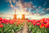 traditional Netherlands Holland dutch scenery with one typical windmill and tulips, Netherlands countryside.