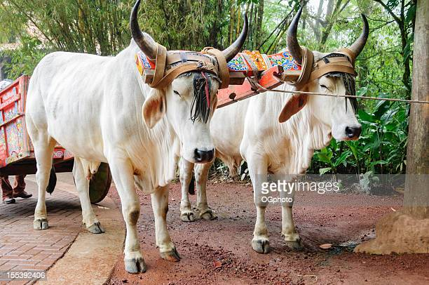 Traditionelle Rinder team und Golfwagen