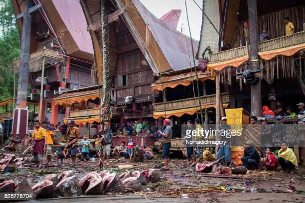 Traditional Torajan Animal Sacrifice Ceremony Scene