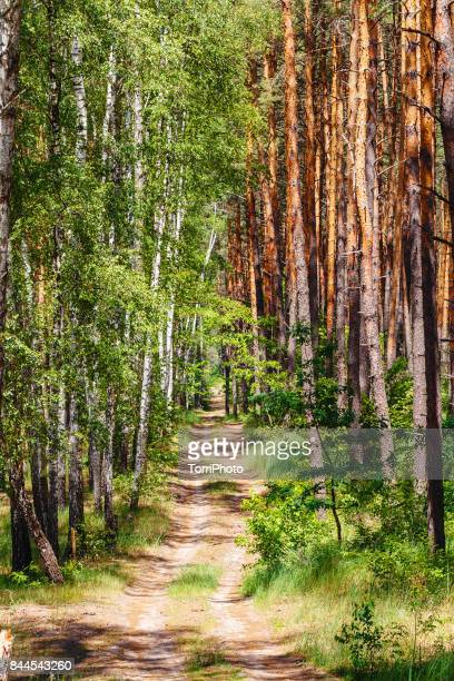 Trail road in a pine birch forest