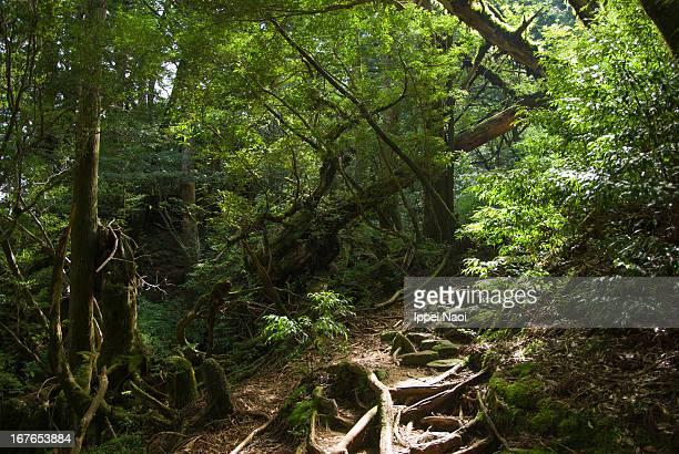 Trail through lush rainforest, Yakushima, Japan