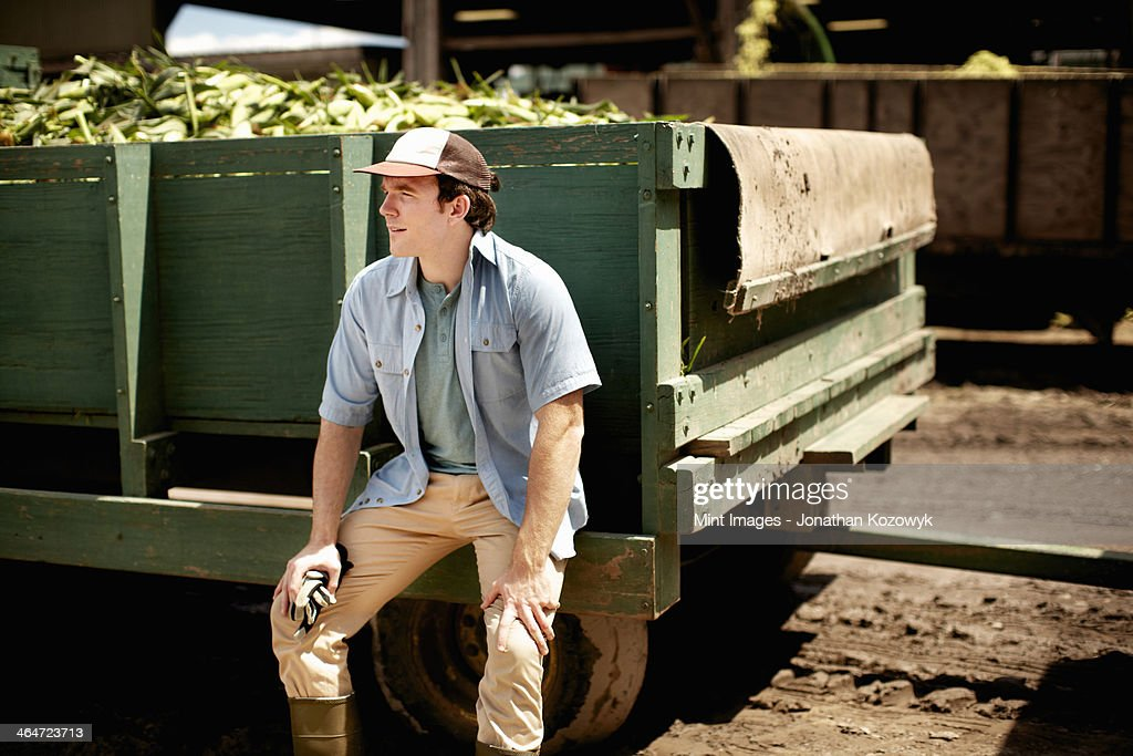 A trailer of harvested corn cobs,corn on the cob. Organic food ready for distribution. Farmer sitting on the trailer wheel resting.