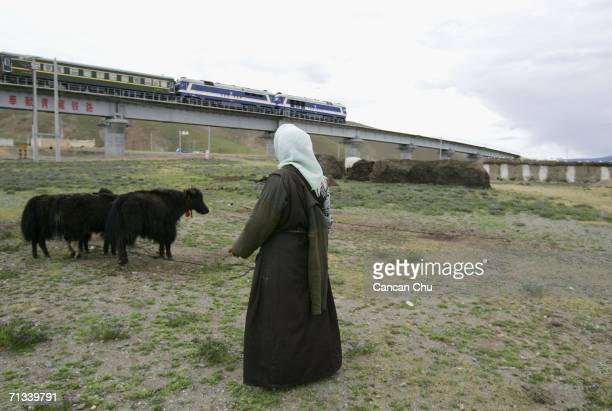 A train runs on the newly built QinghaiTibet Railway past a village as a Tibetan woman looks after her cows in Dangxiong County Tibetan Autonomous...