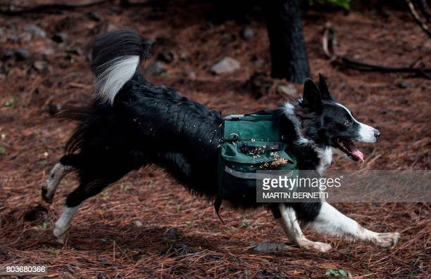 A trained border collie runs through a forest devastated by massive fire while sowing tree seeds that fall to the ground from their special backpacks...