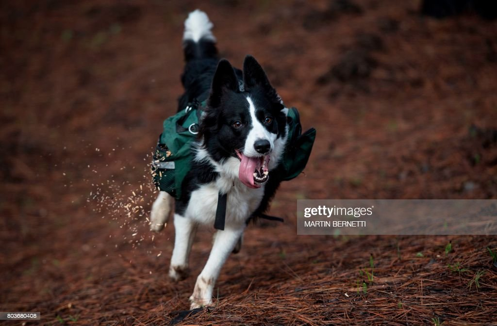 A trained border collie, runs through a forest devastated by massive fire, while sowing tree seeds that fall to the ground from their special backpacks in Talca, about 350 kilometres south of Santiago on June 23, 2017. Instead of a vast, ancient native forest, there are only fallen trunks and burnt grasslands. But in an unprecedented campaign, three border collies are helping reforest extensive areas of Chile devastated by forest fires in early 2017. / AFP PHOTO / Martin BERNETTI