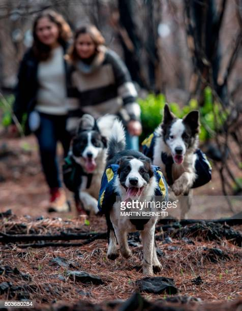 Trained border collies run through a forest devastated by massive fire while sowing tree seeds that fall to the ground from their special backpacks...