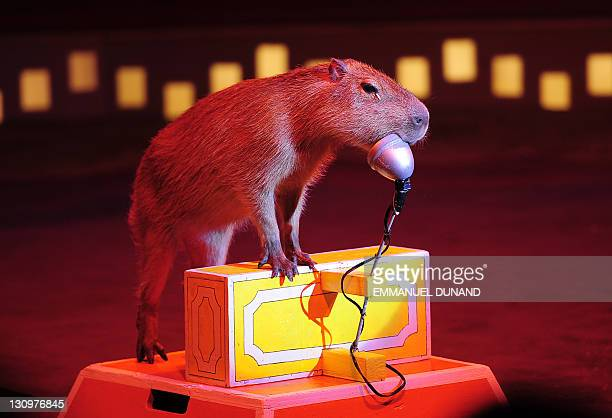 A trained Capybara performs during a Big Apple Circus show in New York October 30 2011 The Big Apple Circus is presenting it's 20112012 season 'Dream...