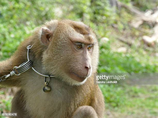 Trained Pigtailed Macaque in Ko Samui, Thailand