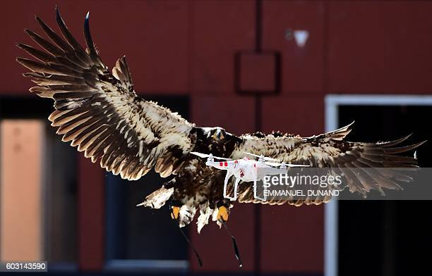 TOPSHOT A trained young eagle attempts to catch a drone during a demonstration organized by the Dutch police as part of a program to train birds of...