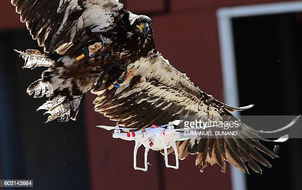 A trained young eagle attempts to catch a drone during a demonstration organized by the Dutch police as part of a program to train birds of prey to...