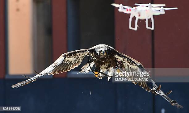 A trained young eagle eyes a drone during a demonstration organized by the Dutch police as part of a program to train birds of prey to catch drones...