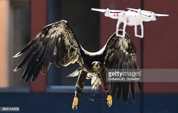 A trained young eagle eyes a drone in midair during a demonstration organized by the Dutch police as part of a program to train birds of prey to...