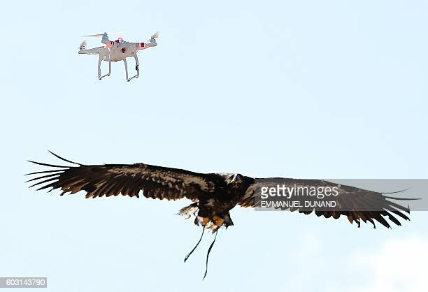 A trained young eagle flies towards a drone during a demonstration organized by the Dutch police as part of a program to train birds of prey to catch...