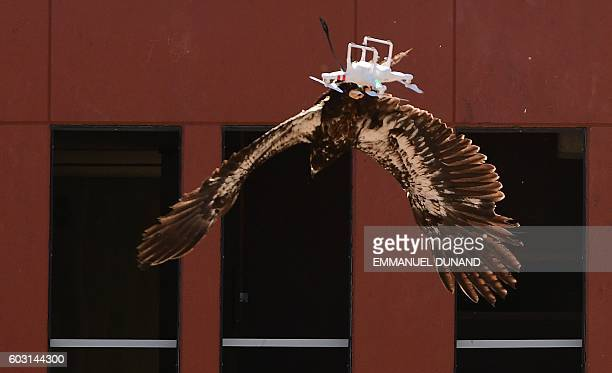 A trained young eagle snatches a drone in midair during a demonstration organized by the Dutch police as part of a program to train birds of prey to...