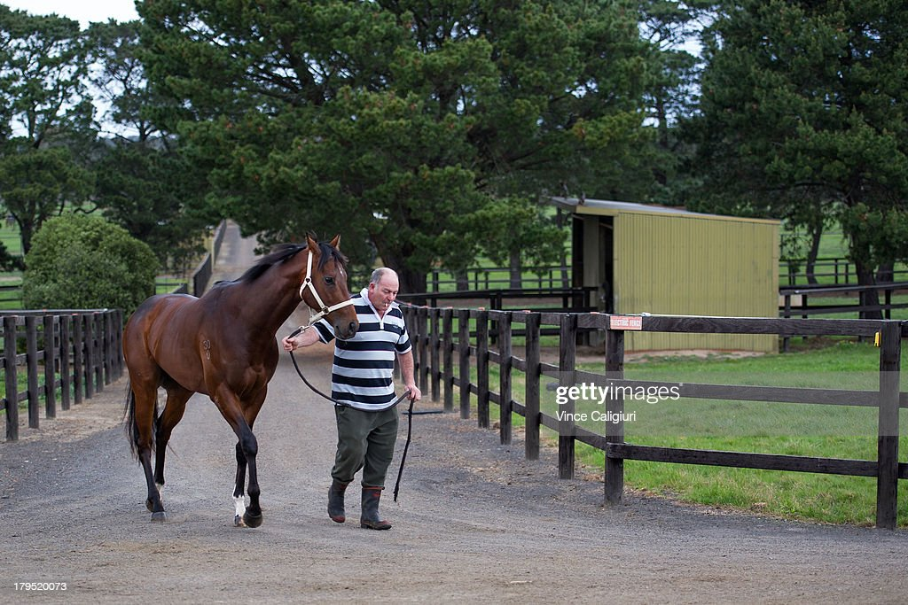Trainer Andrew Campbell walks Cauthen back to stables after trackwork at Talwood Park on September 5, 2013 in Melbourne, Australia.