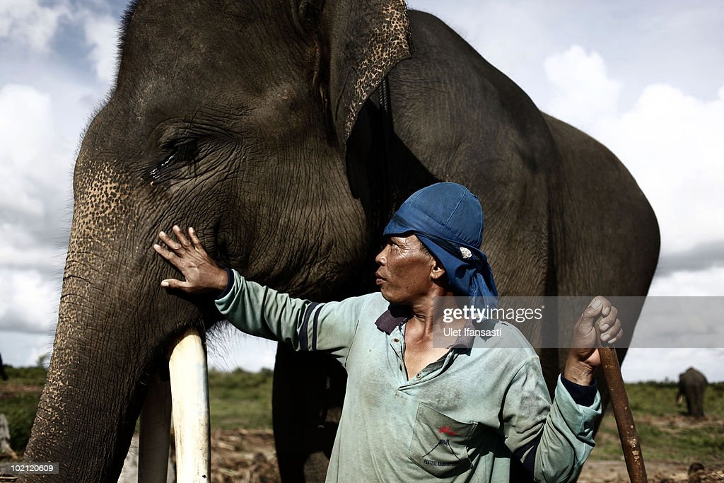 A trainer give treatment to a Sumatran elephant in between patrolling the conservation looking for illegal loggers who are destroying the habitat of Sumatran elephants on June 13, 2010 in Way Kambas, Lampung, Indonesia. Sumatran elephants are becoming increasingly endangered due to the destruction of their habitat by logging, palm oil and rubber industries. This has resulted in the animals invading local villages trampling locals to death and destroying homes and crops. Villagers in Lampung saw 327 elephants invade in a three month period during 2009, causing death and destruction as their own habitat continues to be threatened. Forest rangers and activists from the Wildlife Conservation Society are trying various methods to return them to the forest, including training them to keep away, along with hunting for illegal loggers. The current population for the mammals is estimated at 2000 to 2700.
