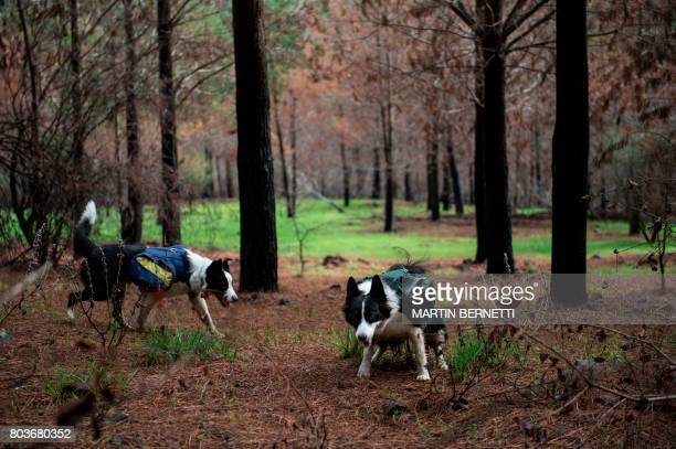 Traines border collies walk through a forest devastated by massive fire while sowing tree seeds that fall to the ground from their special backpacks...