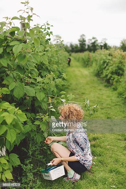 Tranquil Rural Scene With Woman Harvesting Raspberries