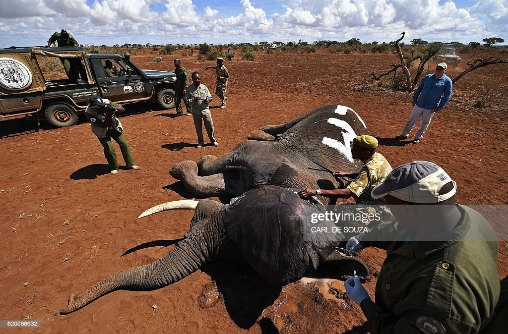 A tranquilized male bull elephant is fitted with an electronic collar outside the Amboseli National Park on November 2, 2016. The International Fund for Animal Welfare (IFAW) is collaring two young male elephants from the Amboseli region to better understand their migration routes. As Kenya's population increases dramatically every year more land traditionally used by elephants as routes is being populated and developed and elephants have been impacted. IFAW intends to study data from the collared elephants movements to plot how this impact affects them. / AFP / CARL