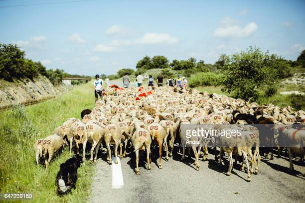 Transhumance flock of sheep being herded between NimesenGuarrigue and the lake 'Lac des Pises' in the Cevennes mountain range Herd on a road and...