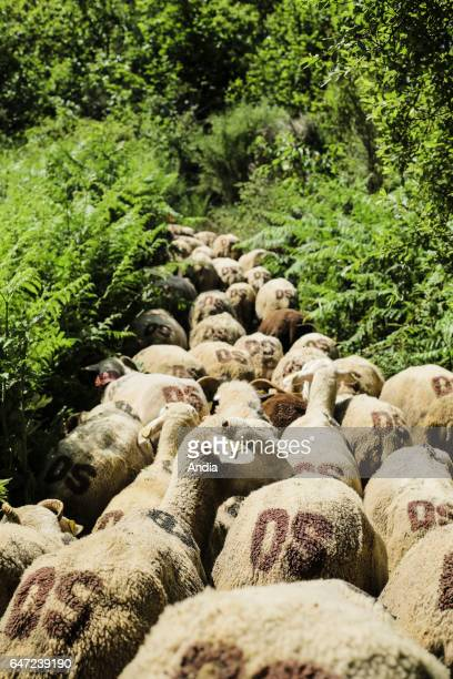 Transhumance flock of sheep being herded between NimesenGuarrigue and the lake 'Lac des Pises' in the Cevennes mountain range Herd on a drovers' road...