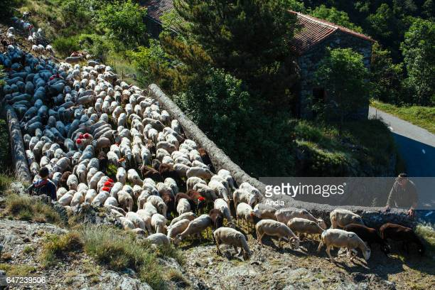 Transhumance flock of sheep being herded between NimesenGuarrigue and the lake 'Lac des Pises' in the Cevennes mountain range Herd crossing the sheep...
