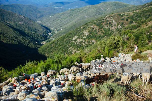 Transhumance flock of sheep being herded between NimesenGuarrigue and the lake 'Lac des Pises' in the Cevennes mountain range Herd in the middle of a...