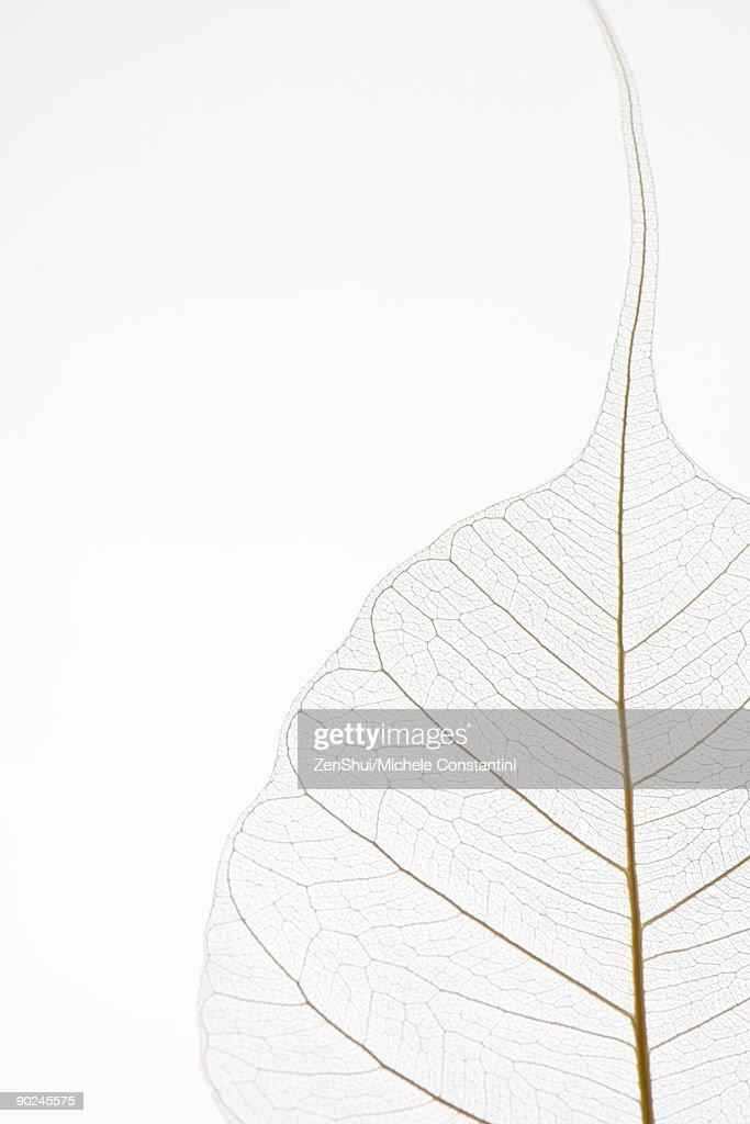 Translucent leaf, close-up, cropped