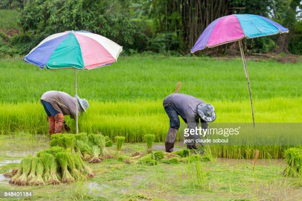 Transplanting of rice, in Chiang Rai district (thailand)