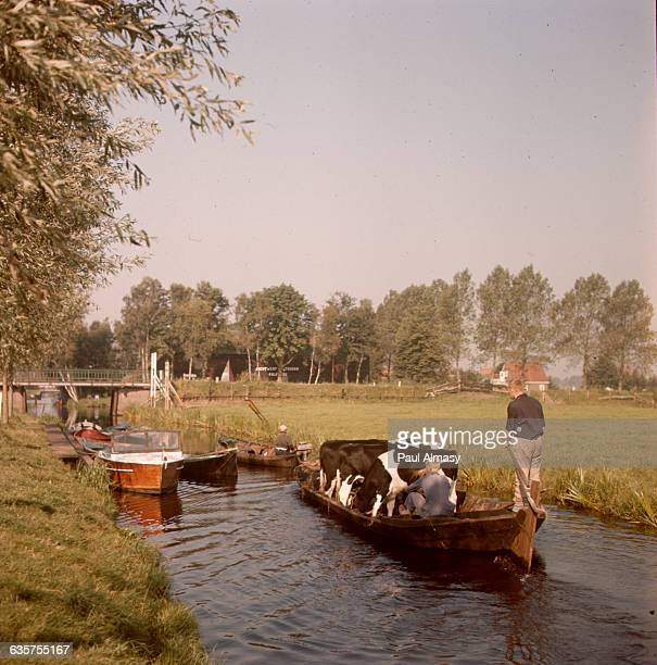 Transporting cattle by barge in Giethoorn the Netherlands where the village is entirely surrounded by canals making water transportation necessary