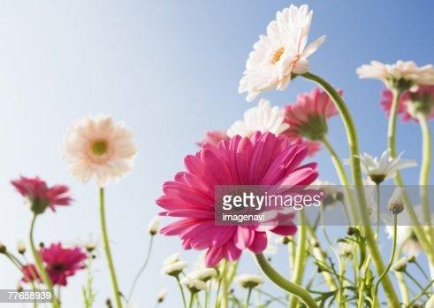 Transvaal Daisy and Marguerite : Foto de stock