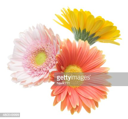 Transvaal daisy in a white background : Stock Photo