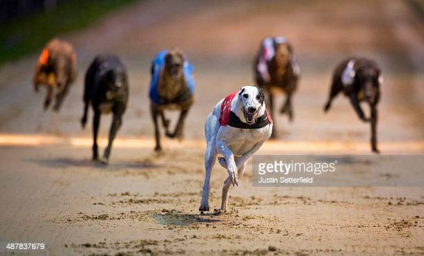 Trap 1 Kippers Usian wins race 3 of the William Hill Wimbledon Derby 1st round Heats at Wimbledon greyhound track on May 01 2014 in London England