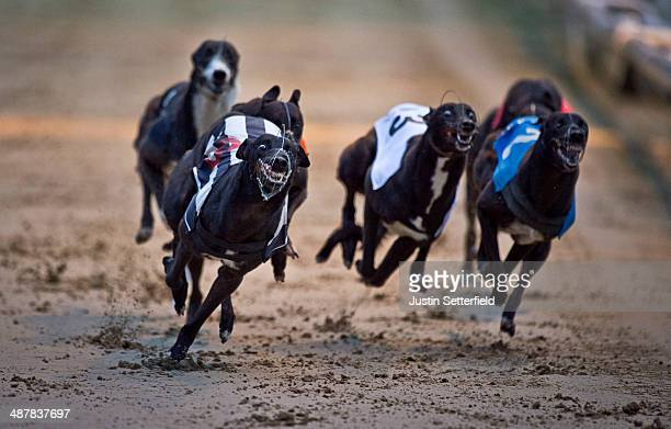 Trap 6 Scarface wins race 2 of the William Hill Wimbledon Derby 1st round Heats at Wimbledon greyhound track on May 01 2014 in London England