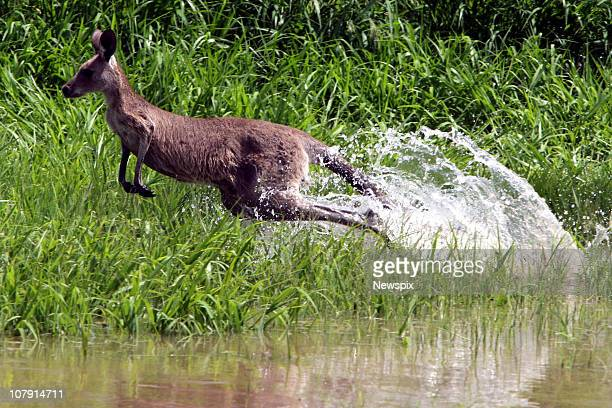 A trapped kangaroo hops along a fenceline at Rockhampton Airport on January 6 2011 in Rockhampton Australia Floodwaters peaked at 92 metres two days...
