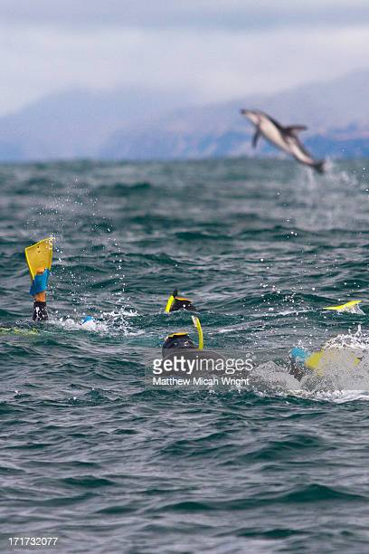 Travelers swim with the acrobaticl Dusky Dolphins