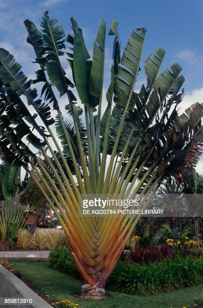 Traveler's tree or traveler's palm Strelitziaceae from Tenerife
