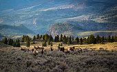 A group of grazing elk, at dusk, enjoying the new life Spring brings.