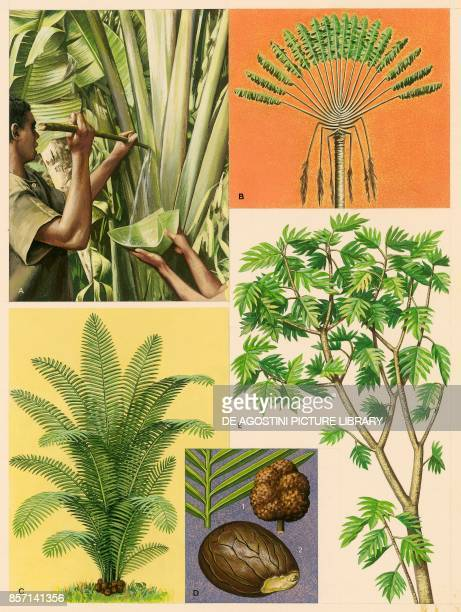 Traveller's tree Ivory nut palm leaf and fruit seed Breadfruit drawing