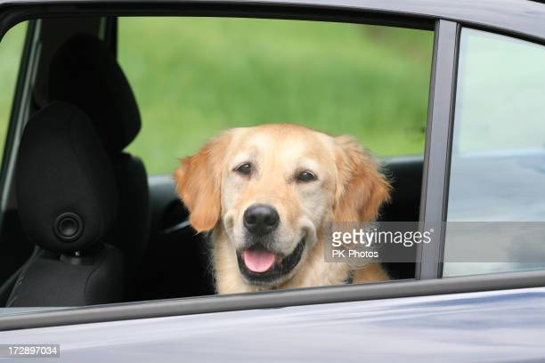 Travelling Golden Retriever