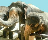 Travels to Thailand - please visit Asian Elephants - Elephant's camp - beautiful mammals and adorable