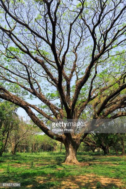 Tree, acharya jagadish chandra bose, indian botanic garden, west bengal, india, asia