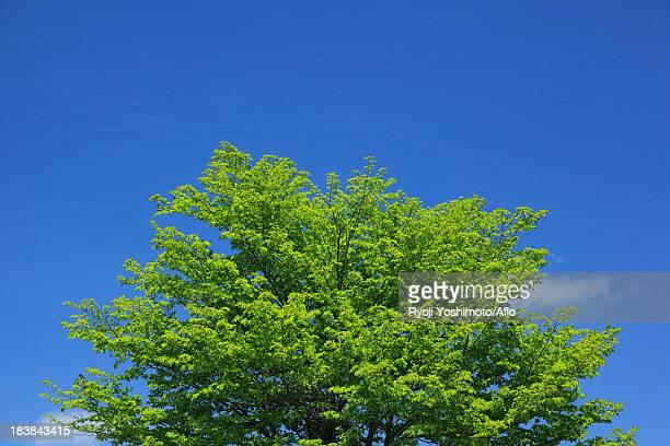 Tree and blue sky with clouds, Hokkaido