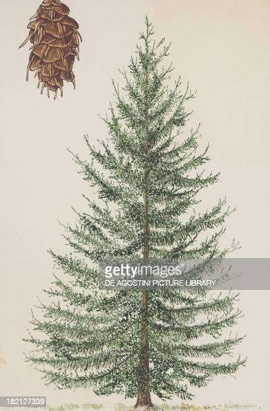 Tree and cone of the Douglas Fir or Coast Douglas Fir Pinaceae drawing