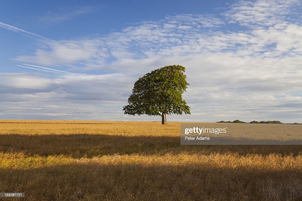 Tree and Field, England, Great Britain : Stock Photo