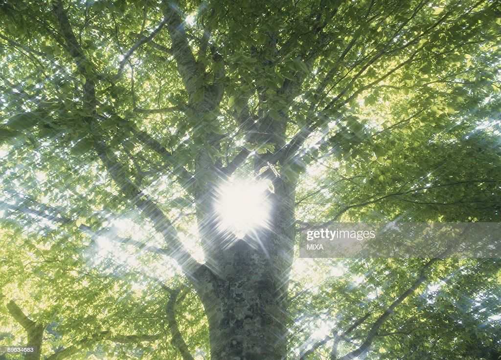 Tree and Ray : Stock Photo