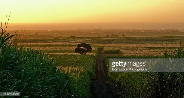 Tree and sugar cane fields
