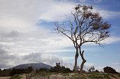 Tree at Carpinteria State beach
